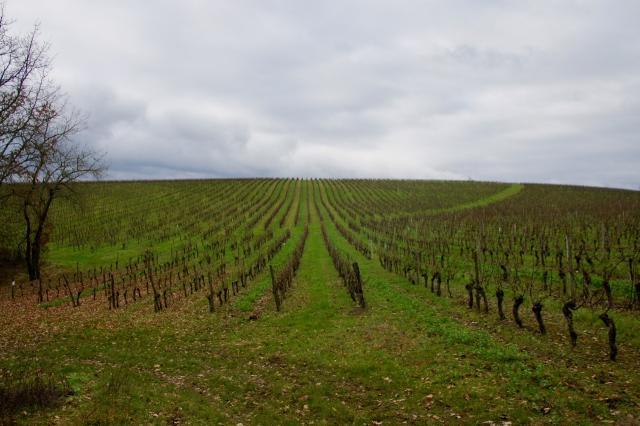 Certaines vignes sont déjà taillées