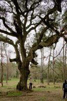 Un chêne liège monumental, aussi bien en hauteur