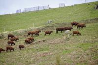 Les célèbres vaches Salers